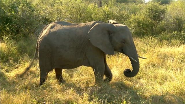 WS African Elephant eating grass / Kruger National Park/ Mpumalanga/ South Africa