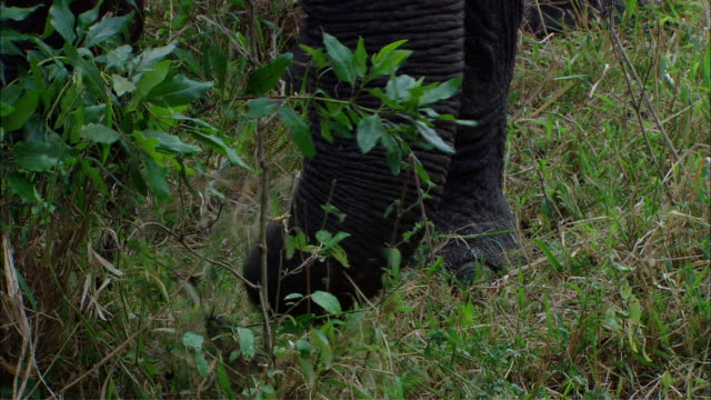 MS ZI TU African elephant eating / Kenya