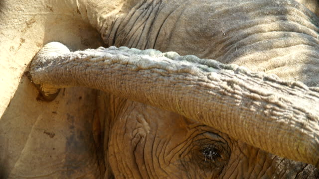 CU PAN African Elephant eating leaves and touching ear with trunk / Namibia