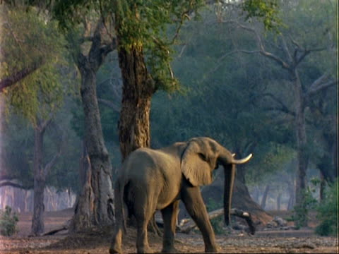 African Elephant (Loxodonta africana), MS elephant walks towards tree, stretches up to reach leaves with trunk, walks on