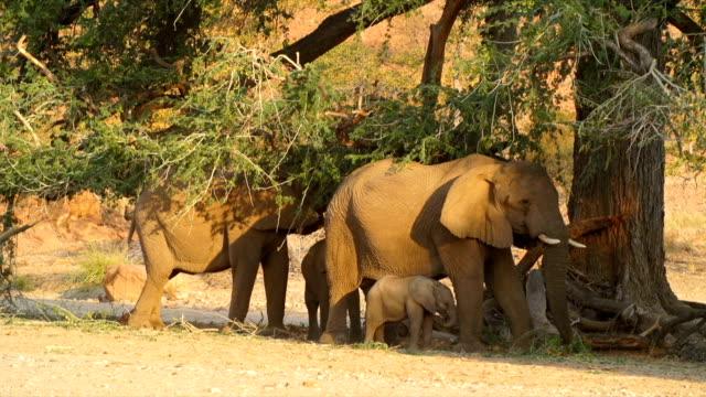 MS African Elephant family eating under tree / Namibia