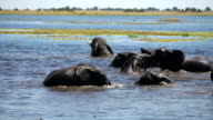 African elephant family herd water fun