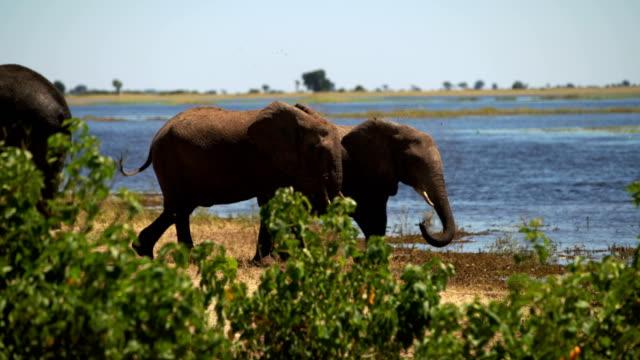 Afrikansk elefant familj besättningen vatten kul