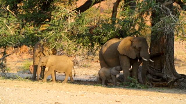 MS African Elephant family under tree / Namibia
