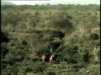 HA, WS, African Elephant (Loxodonta africana) family walking through savanna, Tsavo National Park, Kenya