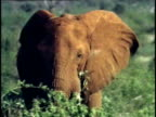 CU, African Elephant (Loxodonta africana) feeding in savanna, Tsavo National Park, Kenya