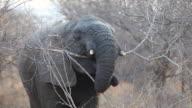 LS African elephant feeding, South Africa.