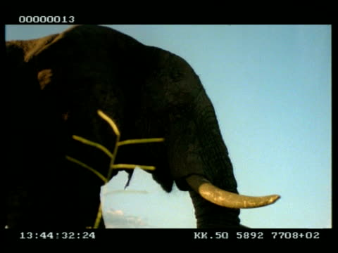MCU African Elephant (Loxodonta africana), head feeding on grass whilst flapping ears, at dusk