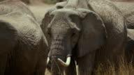 African Elephant Head & Tusks Maasai Mara  Kenya  Africa