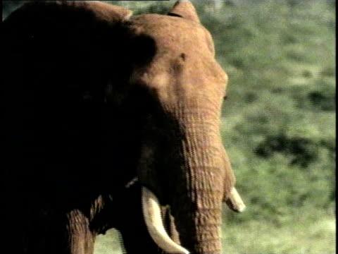 CU, African Elephant (Loxodonta africana) in field, Tsavo National Park, Kenya