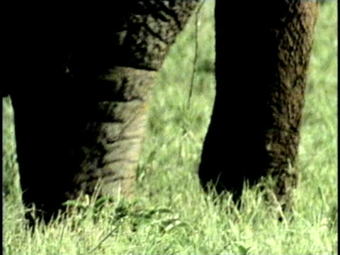 CU, COMPOSITE, African Elephant (Loxodonta africana), low section, Tsavo National Park, Kenya
