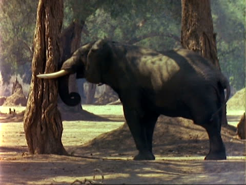 African Elephant (Loxodonta africana), MCU elephant pushes Acacia albida tree with trunk, pods fall to the ground