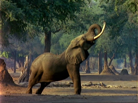 African Elephant (Loxodonta africana), MCU elephant stretches up to pull leaves off tree with trunk and eats
