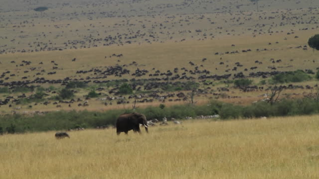 African Elephant- mother and yoyng walking in open savannah, big herd of Wildebeest in the back