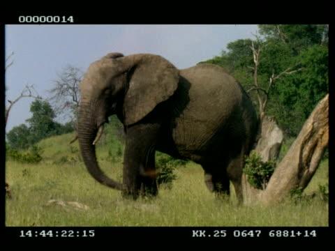 MCU African Elephant (Loxodonta africana) scratching against tree trunk