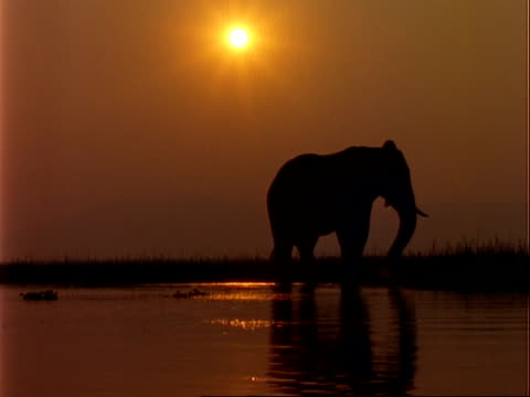 African Elephant (Loxodonta africana), MS silhouette pulling up vegetation in shallow water at sunset