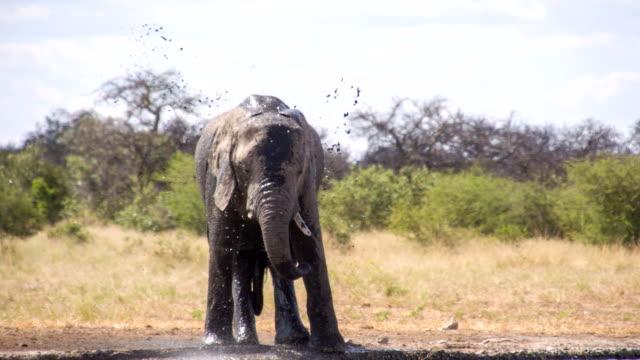 LS Elefante africano spruzzi d'acqua