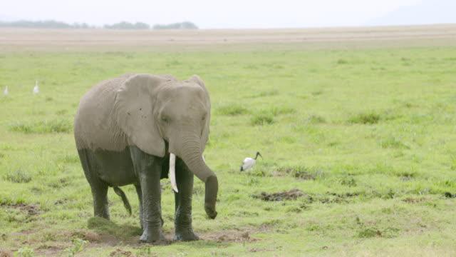 WS African Elephant spraying itself on savanna landscape, alongside ibis / Kenya