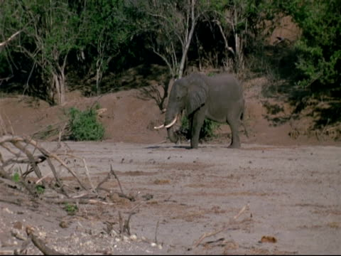 WA African Elephant standing in dry river bed, searching for water, sunny, Mana Pools, Zimbabwe
