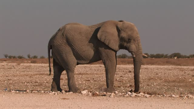 African elephant stands alone in the open desert. Available in HD.