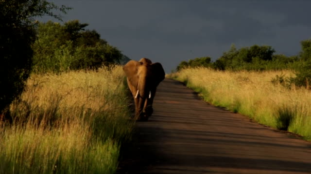 WS African Elephant walking down road towards camera / Pilanesberg National Park/ North West Province/ South Africa