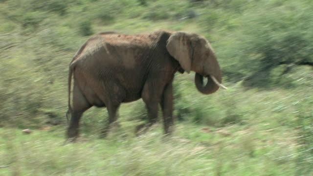 T/L, PAN, ZI, African elephant (Loxodonta africana) walking in savanna, Laikipia, Kenya