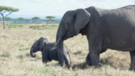 MS TD ZO African elephant walking with calf / Kenya