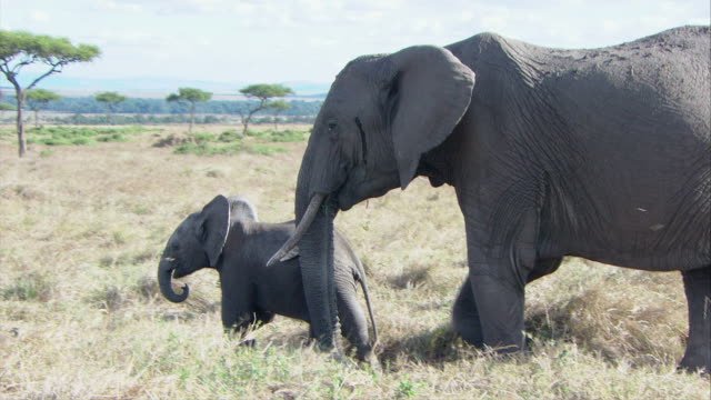 MS TD ZO African elephant walking with calf / Kenya