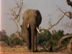 African Elephant (Loxodonta africana), CU walks towards camera