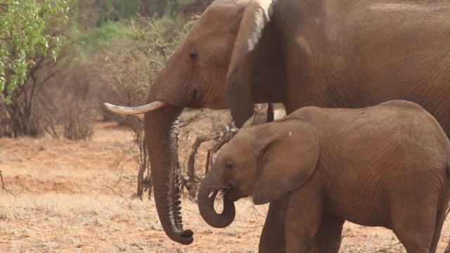 African Elephants- adult female and baby eating between acacia trees