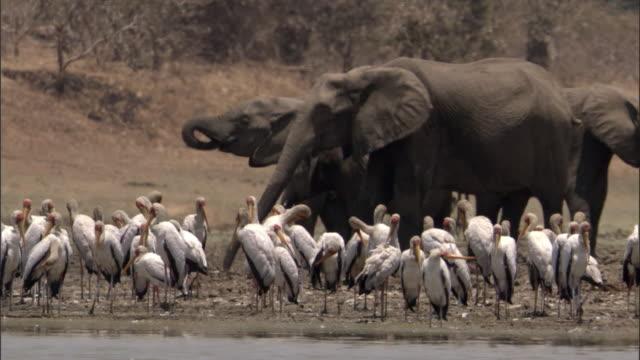 African elephants (Loxodonta africana) and yellow billed storks (Mycteria ibis) on riverbank, Luangwa, Zambia
