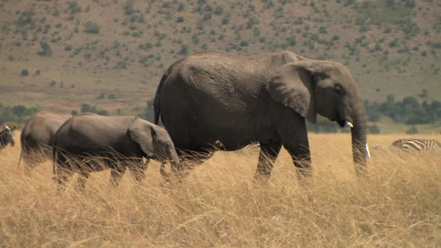 MS, PAN, African elephants (Loxodonta africana) and zebras (Equus burchellii) in savanna, Masai Mara, Kenya