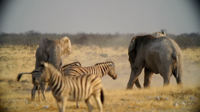 WS African Elephants and Zebras  in savannah / Namibia