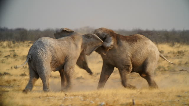 WS PAN African Elephants and Zebras  in savannah / Namibia