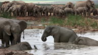 African elephants (Loxodonta africana) at water, Addo Elephant National Park, Southern Cape, South Africa
