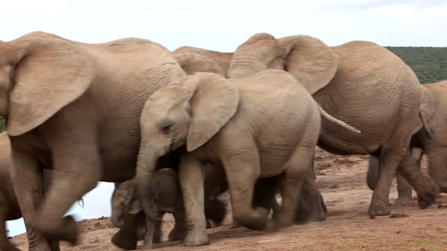 African elephants (Loxodonta africana) at waterhole, Addo Elephant National Park, Southern Cape, South Africa