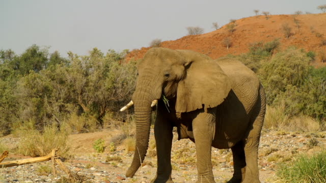WS PAN African Elephants eating / Namibia