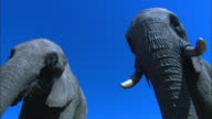 LA CU 2 African elephants feeding directly over camera