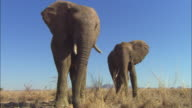 MS 2 African elephants feeding very close to camera