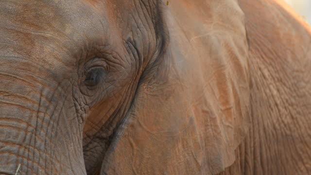 Elefanti africani testa