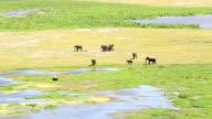 African Elephants in marsh at Amboseli