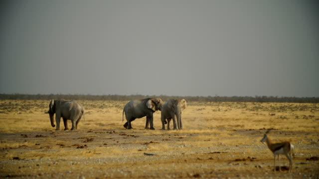 WS PAN African Elephants in savannah / Namibia