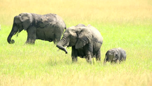 African Elephants loving / playing at wild
