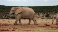 African elephants (Loxodonta africana) on the move, Addo Elephant National Park, Southern Cape, South Africa