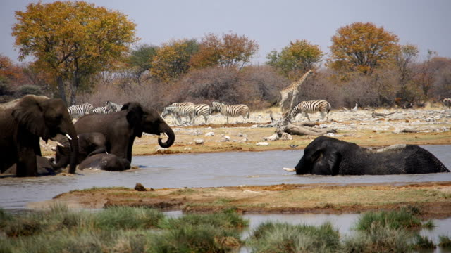 MS African Elephants refreshing at water hole / Namibia
