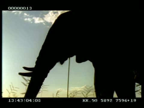 MS 2 African Elephants (Loxodonta africana) silhouetted, head in profile, pan left eating and ear-flapping
