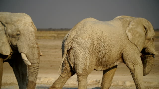MS WS PAN African Elephants sparring in savannah / Namibia