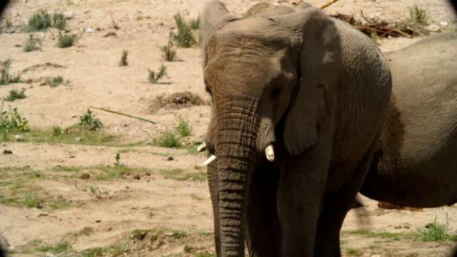 MS African Elephants standing in desert / Namibia