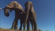 LA MS 2 African elephants standing on edge of riverbank