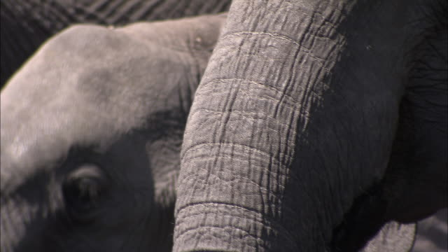 African elephants use their trunks to draw water from a shallow pond. Available in HD.